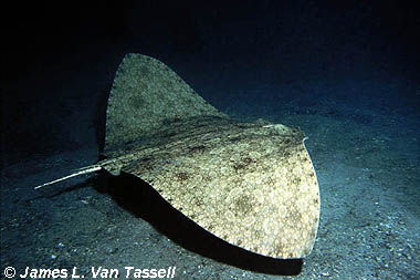 Spiny butterfly ray. Photo © James L. Van Tassell