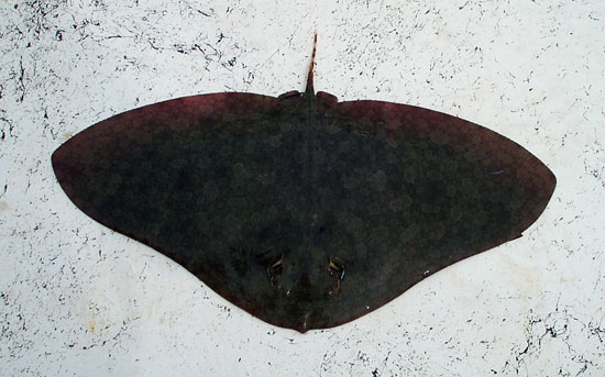 The spiny butterfly ray is typically dark brown in color. Photo © Christina Conrath