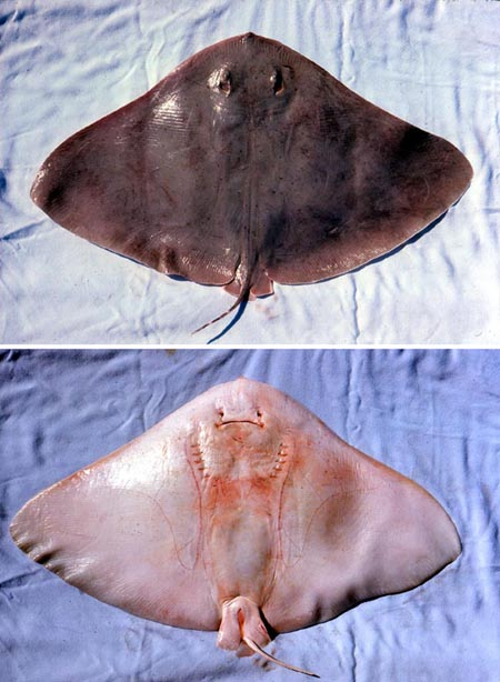 Smooth butterfly ray: dorsal and ventral views. Photo © George Burgess