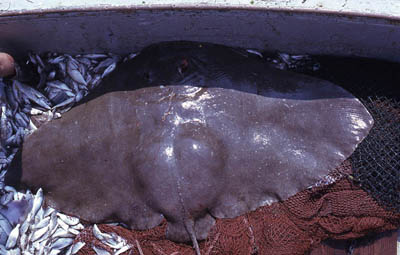 Smooth butterfly rays are caught in minor fisheries. Photo © George Burgess