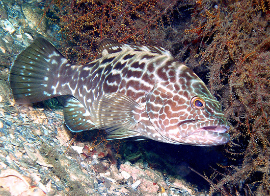 Black groupers prey on the French grunt. Photo © Judy Townsend