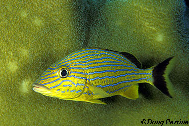 Bluestriped grunt. Photo © Doug Perrine