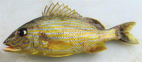 Bluestriped grunt. Photo © John Soward