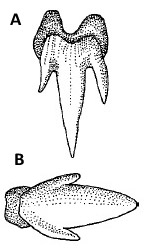 A) Brown shyshark dentition. B) Brown shyshark denticle. Illustrations courtesy FAO