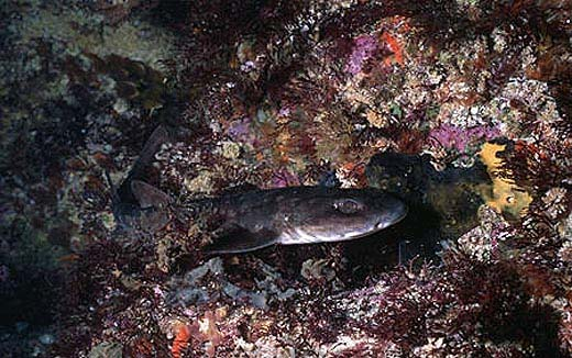 Dark shyshark. Photo © Doug Perrine