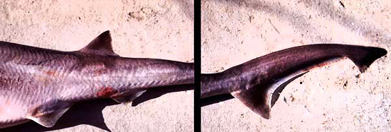 Sharpnose sevengill shark dorsal fin placement and caudal fin. Photo © George Burgess