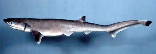 Sharpnose sevengill shark. Photo courtesy National Marine Fisheries Service