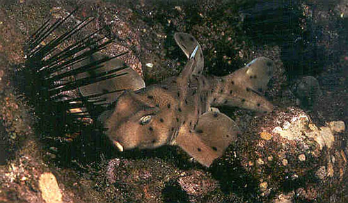 Horn shark. Photo courtesy NOAA
