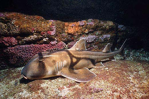 Port Jackson shark. Photo © Doug Perrine