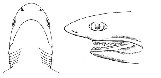 Ventral and side view of the head. Image courtesy FAO Species Catalog, Vol. 4 Part 2 Sharks of the World