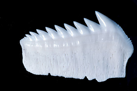 Bluntnose sixgill shark lower jaw plate. Image © Doug Perrine