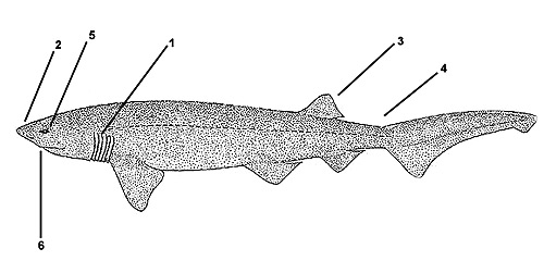 Bluntnose sixgill shark (Hexanchus griseus). Illustration courtesy FAO, Species Identification and Biodata