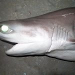 Bigeye sixgill shark head view: notice the large eyes and six gill slits. Photo © John Morrissey