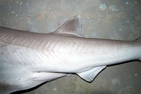 The dorsal fin placement on the bigeye sixgill shark. Photo © John Morrissey