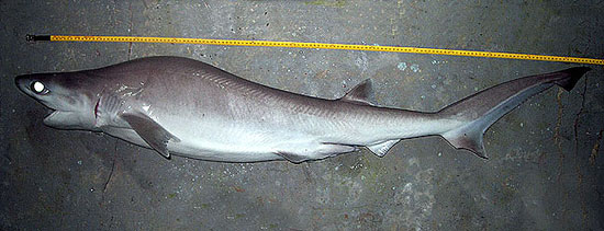 The bigeye sixgill shark may grow to a maximum of 5.6 feet in length. Photo © John Morrissey