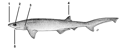 Bigeye sixgill shark (Hexanchus nakamurai). Illustration courtesy FAO, Species Identification and Biodata