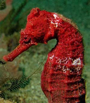 Lined seahorse coloration can vary considerably. Photo © Anne DuPont