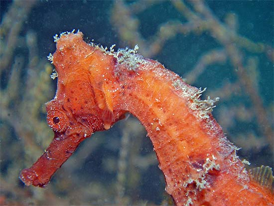 Longsnout seahorses are often displayed in aquariums. Photo © Deb Devers