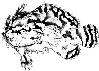 Sargassumfish. Illustration courtesy NOAA