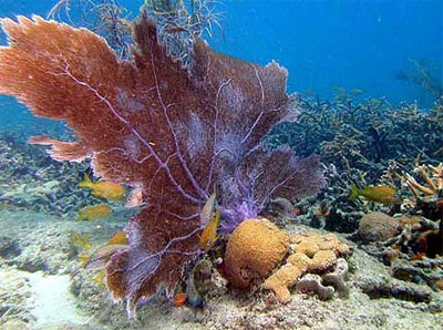 Corals and sponges are known food items of the blue angelfish. Image courtesy Doug Weaver/U.S. Geological Survey