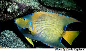 Queen angelfish. Image © David Snyder