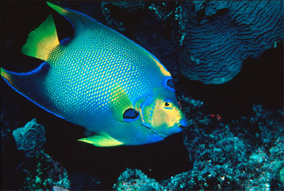 Queen angelfish. Image courtesy Florida Keys National Marine Sanctuary