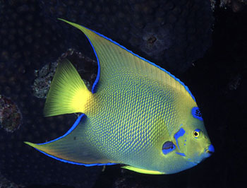 Queen angelfish often observes divers from a short distance. Image © George Ryschkewitsch