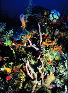Florida reef scene with corals and sponges - food for the queen angelfish. Image courtesy NOAA