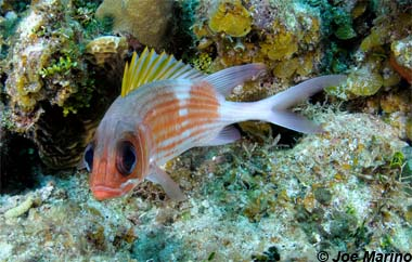 Squirrelfish. Photo © Joe Marino