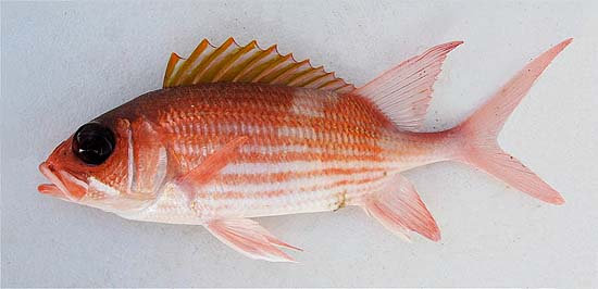 Squirrelfish. Photo © John Soward
