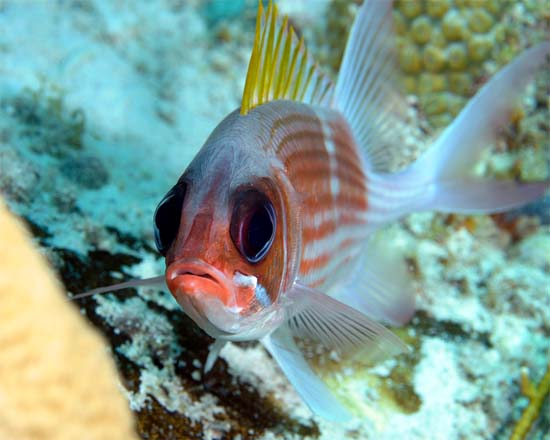 Squirrelfish are reddish in color with large squirrel-like eyes. Photo © Joe Marino