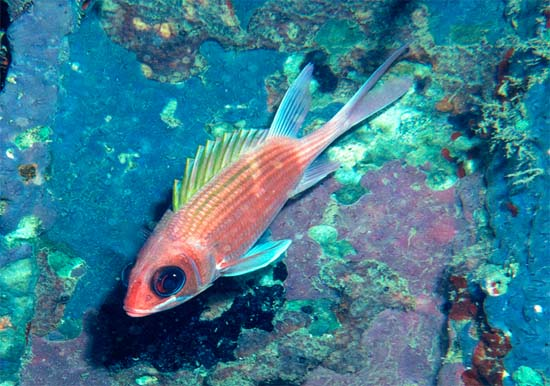 Squirrelfish feed primarily at night. Photo © Richard Bejarano
