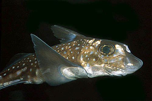 Spotted ratfish have white spots that result in an iredescent silvery sheen. Photo © Doug Perrine