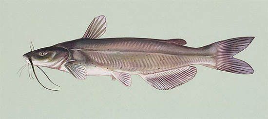 Channel catfish. Illustration courtesy U.S. Fish and Wildlife Service