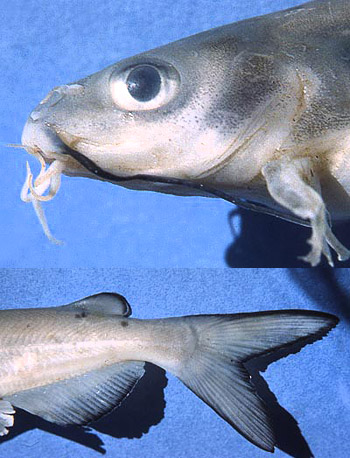 Channel catfish: [top] the barbels located near the mouth, [bottom] the characteristic deeply forked tail. Photos © George Burgess