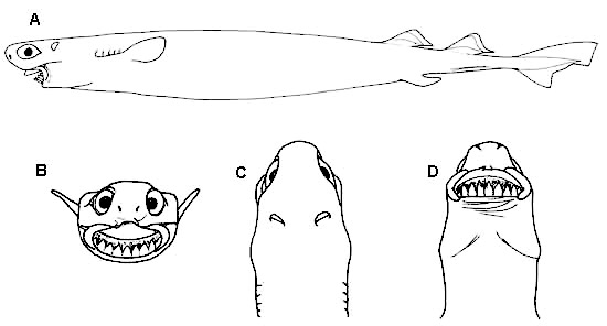 Cookiecutter shark, A) Side view, B) frontal view of the head, C) dorsal view of the head, D) ventral view of the head. Illustration courtesy FAO