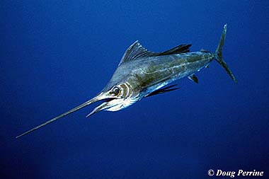 Sailfish. Photo © Doug Perrine