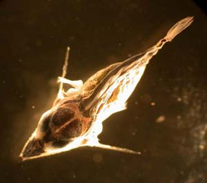 Sailfish larvae. Photo courtesy NOAA