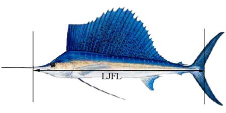 Sailfish catch size limit in federal waters is a lower jaw fork length (LJFL) of 63 inches (160 cm). Image courtesy NOAA