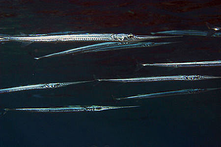 Sailfish feed on a variety of fish including the needlefish pictured above. Photo © Doug Perrine