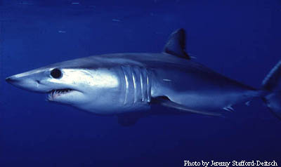 Shortfin Mako. Photo © Jeremy Stafford-Deitsch