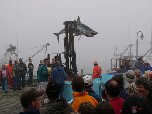 A 1,035 pound (470 kg) shortfin mako caught off the coast of Nova Scotia, 2004. Photo © Joel Hunt