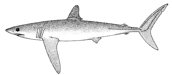 Longfin mako. Image courtesy FAO Vol. 4 Part 1, Sharks of the World