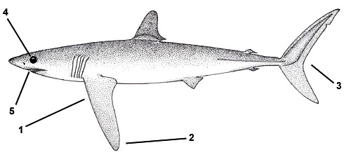 Longfin mako (Isurus paucus). Illustration courtesy FAO, Species Identification and Biodata