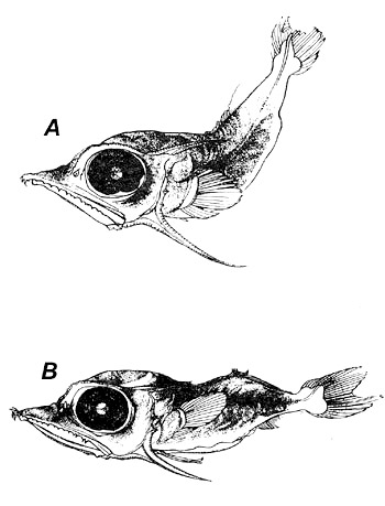 Larvae of the white marlin A. 6.5 mm total length, B. 11.2 mm total length. Image courtesy NOAA