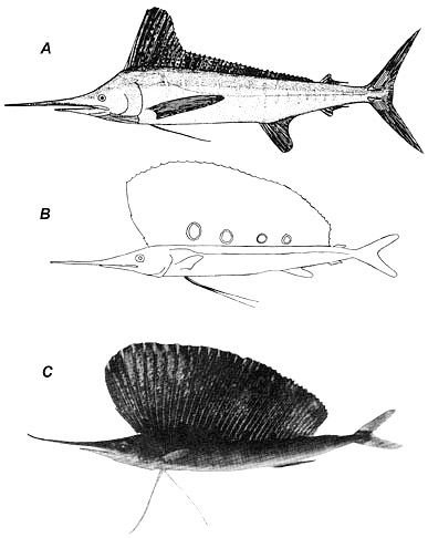 White marlin juvenile and adult morphology A. Adult, B. Juvenile, 124.9 mm, C. Juvenile, 190.5 mm. Image courtesy Nakamura et al. (1968), de Sylva (1963) in Development of Fishes of the Mid-Atlantic Bight, U.S. Fish and Wildlife Service