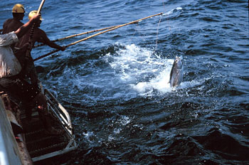 Fishing for skipjack tuna. Photo courtesy NOAA