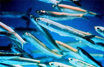 Skipjack tuna feed on small schooling fishes including anchovies as pictured above. Photo courtesy NOAA