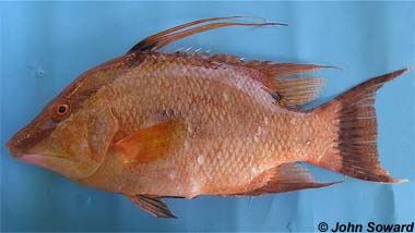 Hogfish. Photo © John Soward
