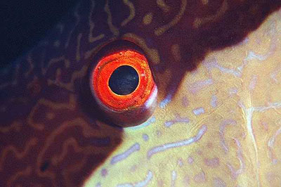 The iris of the hogfish is bright red. Photo © Keri Wilk